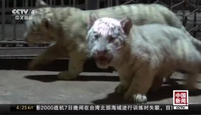 雲南昆明:六胞胎白虎幼崽健康成長