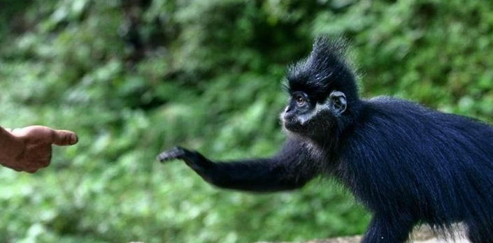 全球首次野化放歸瀕危珍稀保護動物黑葉猴