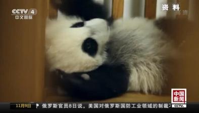 全球圈養大熊貓種群規模達520只