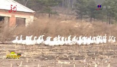 黑龍江樺南:家鵝編成隊 山中自由飛