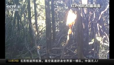 四川阿壩:熊貓自然保護區拍到金絲猴活動