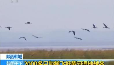 陜西韓城:2000多只灰鶴飛抵黃河濕地越冬