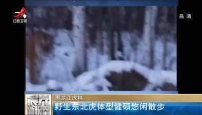 野生東北虎體型健碩悠閒散步