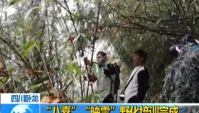 """四川臥龍:""""八喜""""""""映雪""""野化培訓完成"""