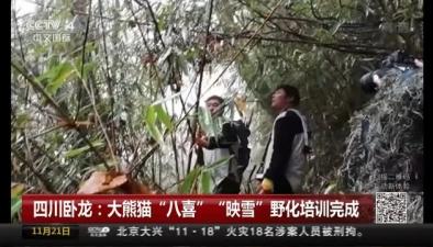 """四川臥龍:大熊貓""""八喜""""""""映雪""""野化培訓完成"""