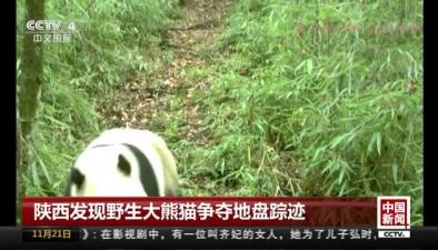 陜西發現野生大熊貓爭奪地盤蹤跡