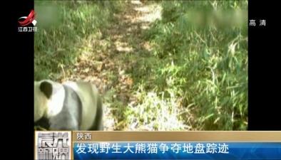 野生大熊貓爭奪地盤