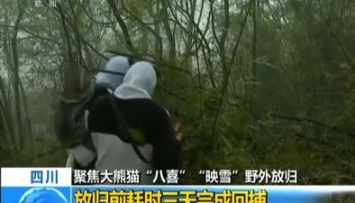 """四川:聚焦大熊貓""""八喜"""" """"映雪""""野外放歸 放歸前耗時三天完成回捕"""
