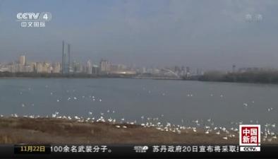 河南三門峽:近5000只白天鵝飛臨天鵝湖棲息越冬