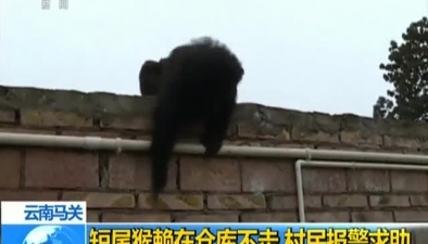 雲南馬關:短尾猴賴在倉庫不走 村民報警求助