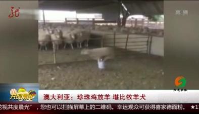 澳洲:珍珠雞放羊