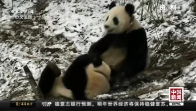 """大熊貓""""八喜""""""""映雪""""昨日放歸自然"""