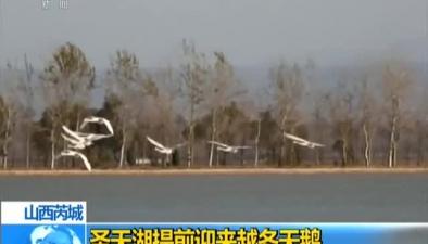 山西芮城:聖天湖提前迎來越冬天鵝