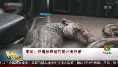 泰國:巨蟒被抓捕後竟吐出巨蜥