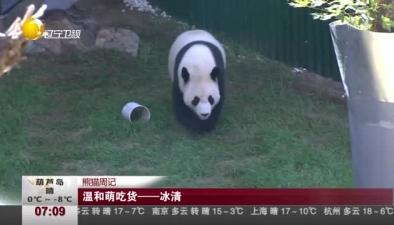 熊貓周記:溫和萌吃貨冰清