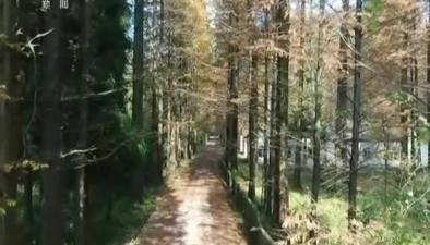 四川廣安:層林盡染 滿目杉葉紅
