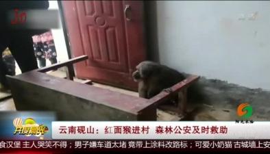 雲南硯山:紅面猴進村 森林公安及時救助