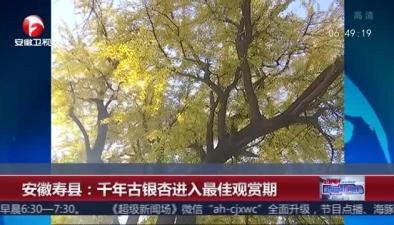 安徽壽縣:千年古銀杏進入最佳觀賞期