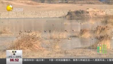 醉美遼寧:小淩河青山綠水引赤麻鴨組團來做客