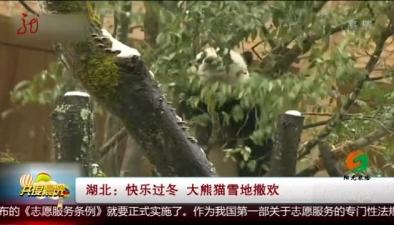 湖北:快樂過冬 大熊貓雪地撒歡