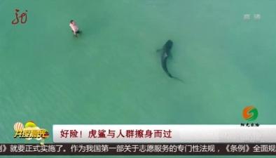 好險!虎鯊與人群擦身而過