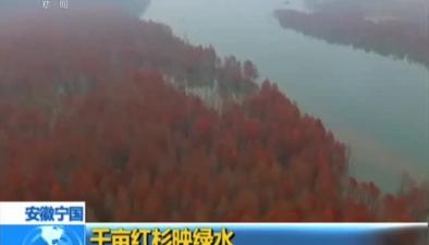安徽寧國:千畝紅杉映綠水