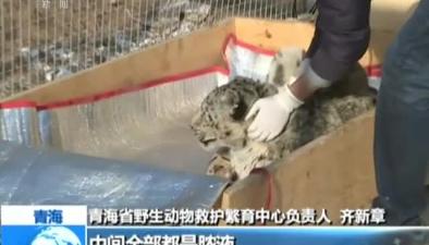 青海:雪豹被車撞 多處骨折傷情嚴重