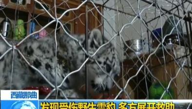 西藏那曲:發現受傷野生雪豹 多方展開救助