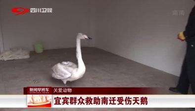 關愛動物:宜賓群眾救助南遷受傷天鵝