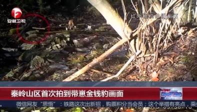 秦嶺山區首次拍到帶崽金錢豹畫面:專家長期觀察發現已有穩定種群棲息