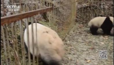 四川:兩只大熊貓幼仔開始第二階段野化培訓