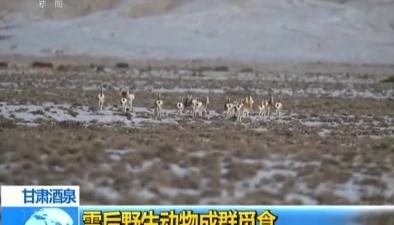 甘肅酒泉:雪後野生動物成群覓食