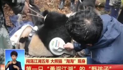 """四川:闖蕩江湖五年 大熊貓""""淘淘""""現身"""