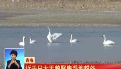 青海:近千只大天鵝聚集濕地越冬