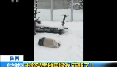 陜西:大熊貓雪地裏撒歡 萌翻了!
