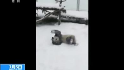 陜西:享受雪天樂趣 大熊貓雪地撒歡