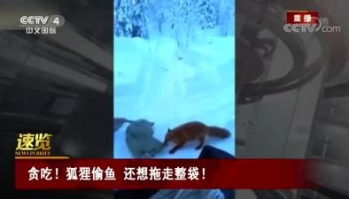 貪吃!狐狸偷魚 還想拖走整袋!