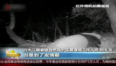 """甘肅:紅外相機拍到""""戀愛""""野生大熊貓"""