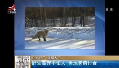 生態好了 狐狸多了:野生狐狸不怕人 雪地賣萌討食