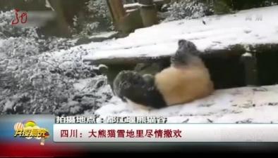 四川:大熊貓雪地裏盡情撒歡
