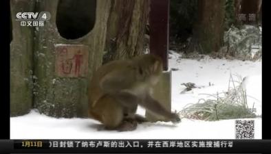湖南張家界:獼猴賞雪 呆萌樂趣多