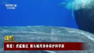 救星!虎鯊靠近 座頭鯨用身體保護科學家