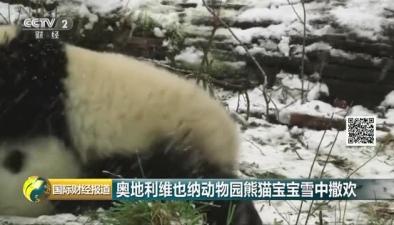 奧地利維也納動物園熊貓寶寶雪中撒歡