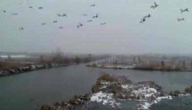 江蘇泗洪:上萬只候鳥雪後翱翔 濕地別樣風景