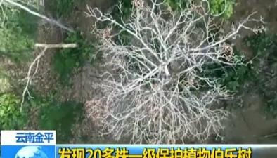 雲南金平:發現20多株一級保護植物伯樂樹