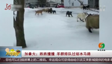 加拿大:跌跌撞撞 羊群排隊過結冰馬路