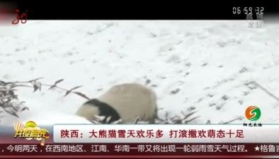 陜西:大熊貓雪天歡樂多 打滾撒歡萌態十足