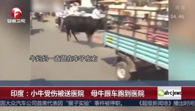 印度:小牛受傷被送醫院 母牛跟車跑到醫院