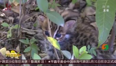 雲南:野生豹貓寶寶走失後獲救
