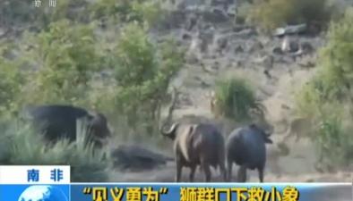 """南非:""""見義勇為""""獅群口下救小象"""